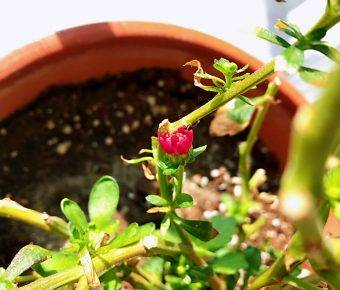 救花记:小玫瑰和雏菊活了